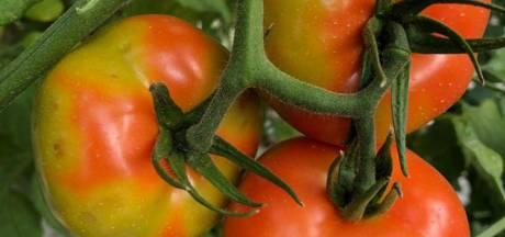 Harde strijd tegen vernietigend en superbesmettelijk tomatenvirus werpt eindelijk vruchten af