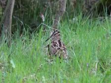 Houtsnippen worden zelden gezien, toch zitten ze overval verstopt in Twentse bossen