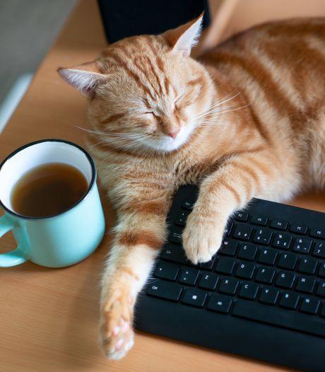 Waarom jouw kat iedere videomeeting verstoort: 'Pure liefde'