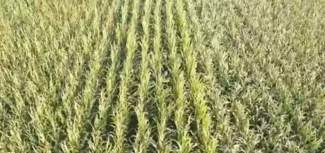 Tientallen verstopte hennepplanten gevonden tussen maïsplanten in de Hoeksche Waard
