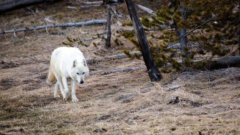 De witte wolf is de enige in Yellowstone Park