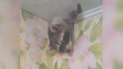 Nieuwsgierige wasbeer neemt kijkje in woonkamer door ventilatierooster