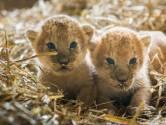 Afrikaanse namen voor leeuwtjes in de Beekse Bergen