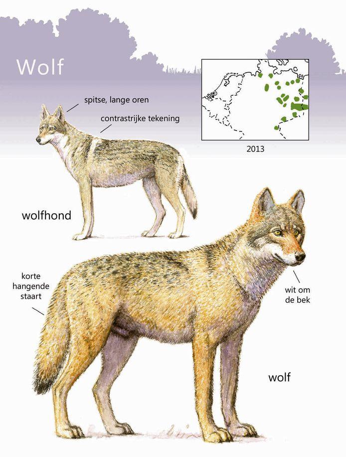 Een wolf of een wolfhond, hoe zat het ook alweer?