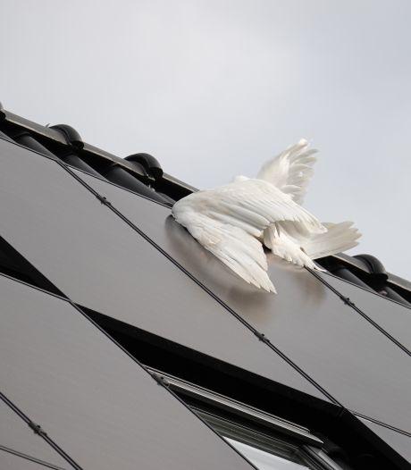 Vogel raakt verstrikt in zonnepanelen op het dak van Hardenbergse woning: 'Ik schrok me kapot'