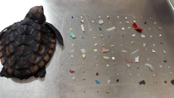 104 stukjes plastic gevonden in maag van overleden babyschildpad