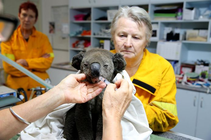 Een gered dier in het Port Macquarie Koala hospital