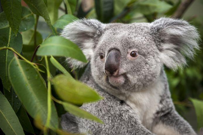 Koala Alinga van Planckendael