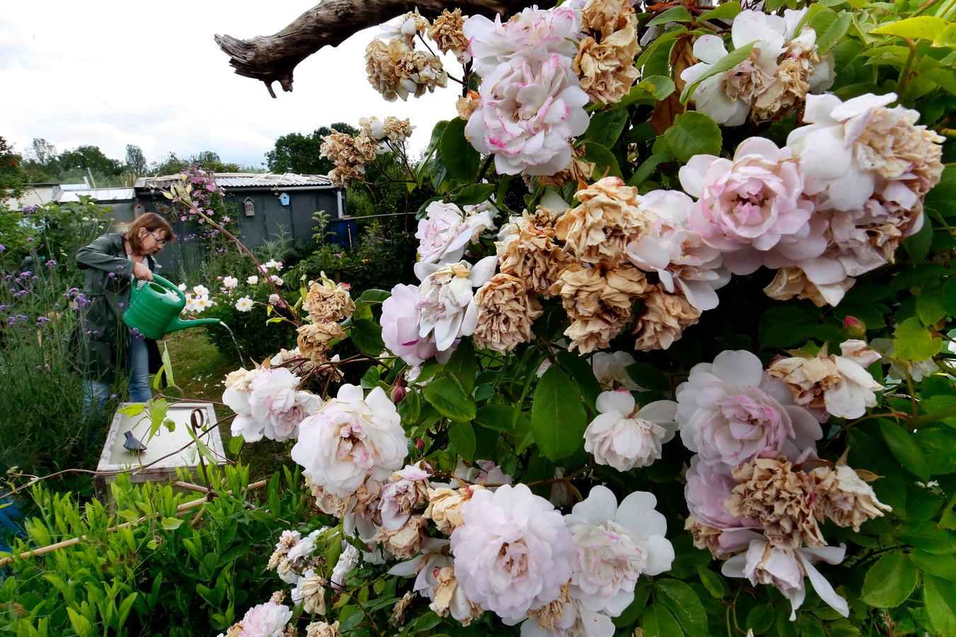 Joke van der Nat geeft haar planten en groenten water met een gieter. Ondanks de goede zorgen hebben sommige rozen het zwaar door de droogte.