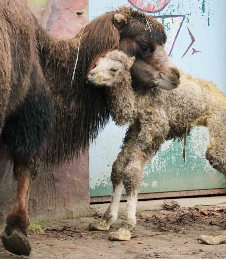 Pasgeboren kameeltje heet Eddy