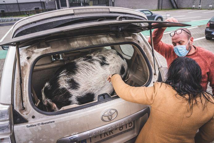 Hangbuikzwijn Babette paste maar net in de koffer.
