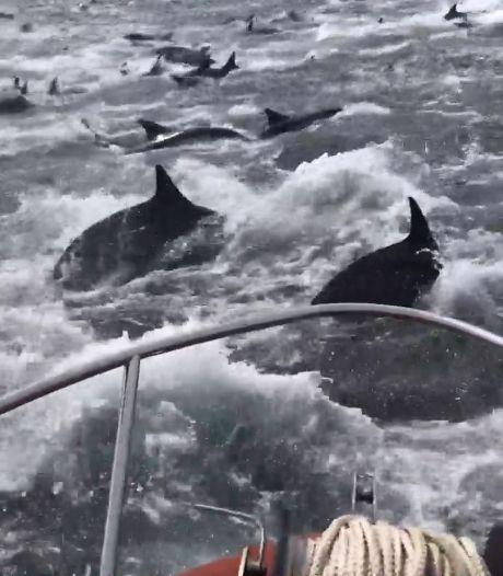 Des pêcheurs encerclés par des centaines de dauphins
