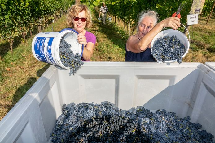Bij wijngaard De Plack is het oogsten van de druiven begonnen. Met veel handen worden de druiven geplukt voordat ze naar het wijnbouwcentrum in Groesbeek gaan om geperst te worden.