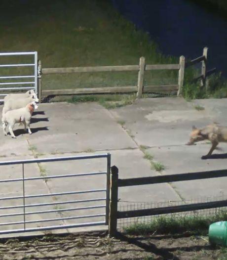 Wolven doden in krap half jaar al 155 schapen (en een Schotse Hooglander), bijna evenveel als recordjaar