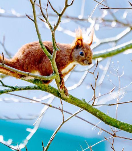 Geschokte reacties om drama met dode eekhoorntjes in Bilthoven: 'Wie kapt er een boom in broedseizoen?'