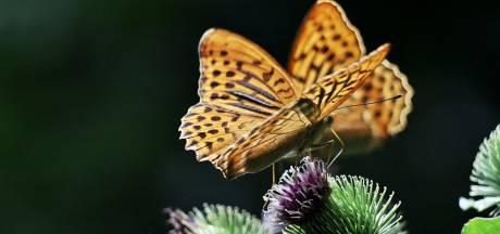 Dit jaar drie weken vlinders tellen door grillen van het weer