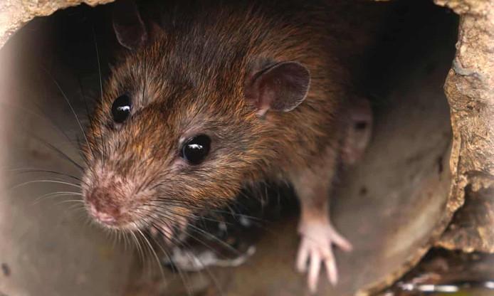 Een rat zorgde voor problemen in Flevoland.