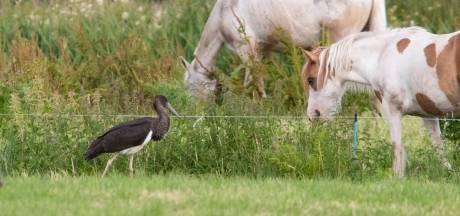 Bijzonder: deze zwarte(!) ooievaar struint door het Baarns weiland