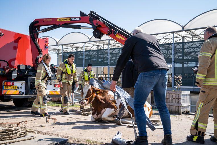 De koe overleefde het en lag nadien op de betonnen kade uit te rusten, haar voorpoten als die van een kat onder het lichaam gevouwen. Beeld ANP