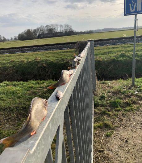 Verbijstering om 'visvandalisme': dode vissen achtergelaten op hek bij IJsselmuiden