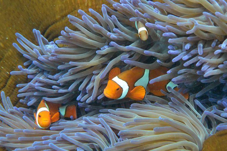 Anemoonvissen in Australië's Great Barrier Reef. Beeld AFP