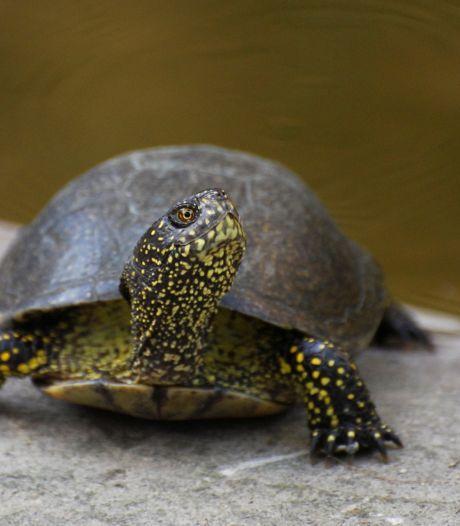 Ook hier doemt het verhaal van de paalschildpad op