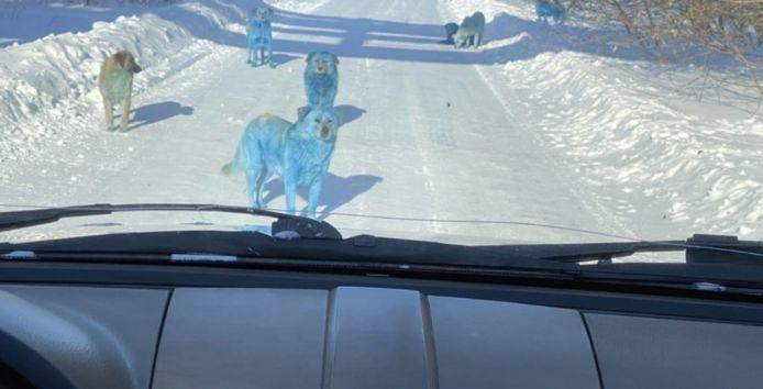 Blauwe honden in Rusland.