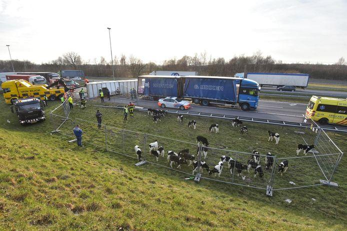 Een stuk gras naast de snelweg wordt afgezet om de kalveren op te verzamelen.