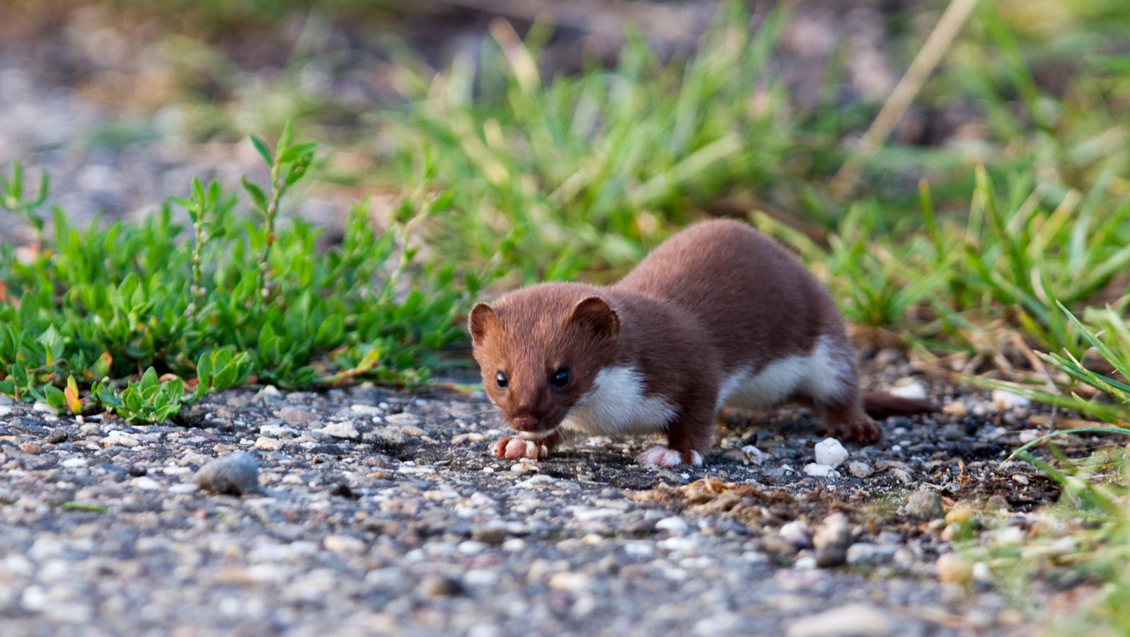 Een hermelijn, een van de vele dieren die door sluipverkeer worden doodgereden op de Ziendeweg.