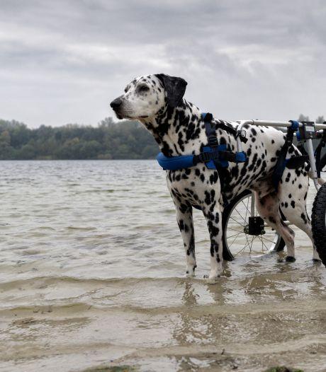 Dalmatiër Bono (11) begint aan een nieuw leven met zijn hondenrolstoel