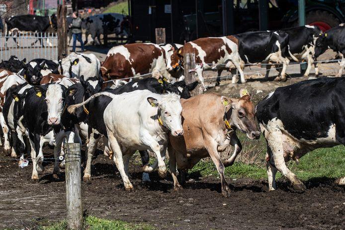 De koeien van boerin Suzanne Ruesink mogen weer de wei in en willen dat weten.