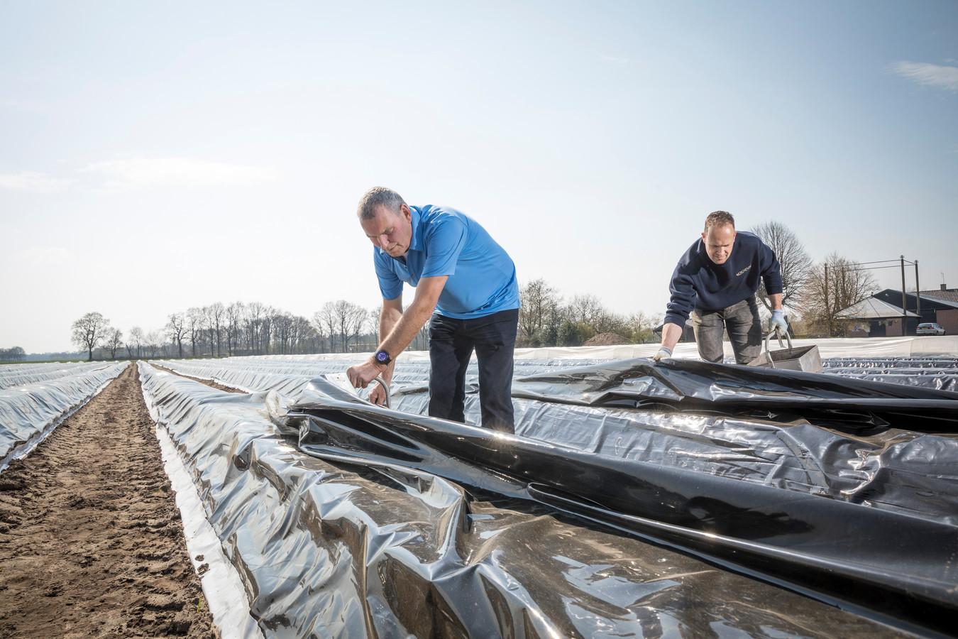 Herman Ogink en Martin Zieleman lichten het zeil op zoek naar opstekende asperges.