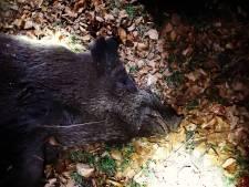 Drachtig zwijn en vijf ongeboren jongen overleden na aanrijding