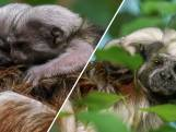 Eerste beelden pasgeboren pinché-aapjes Diergaarde Blijdorp