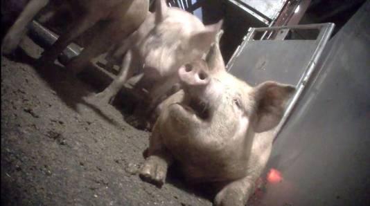 videostill undercoverreportage Animal Rights