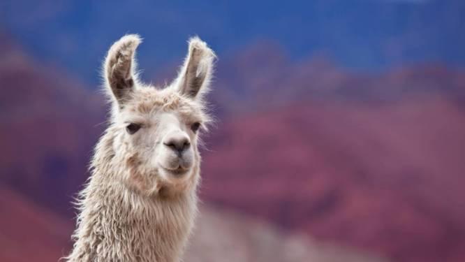 À Gand, un traitement anti-Covid par des anticorps dérivés du lama est en test sur des humains