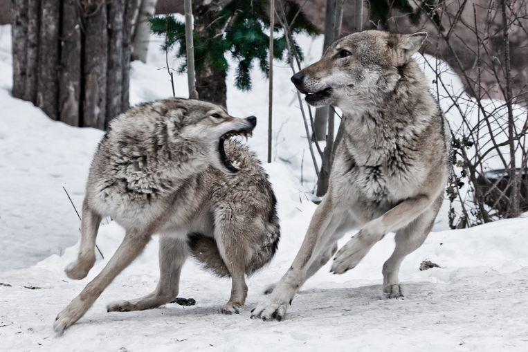 De wolf van 40.000 jaar geleden was twee keer zo groot als de hedendaagse wolf.  Beeld Getty Images/iStockphoto