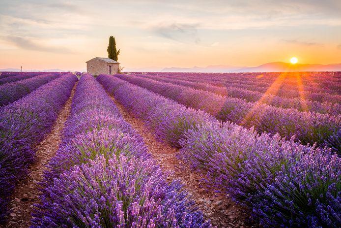 Genieten van de paarse lavendelvelden in de Provence; Nederlanders zoeken het dit jaar liever in eigen land dan dat ze op vakantie gaan naar Frankrijk.