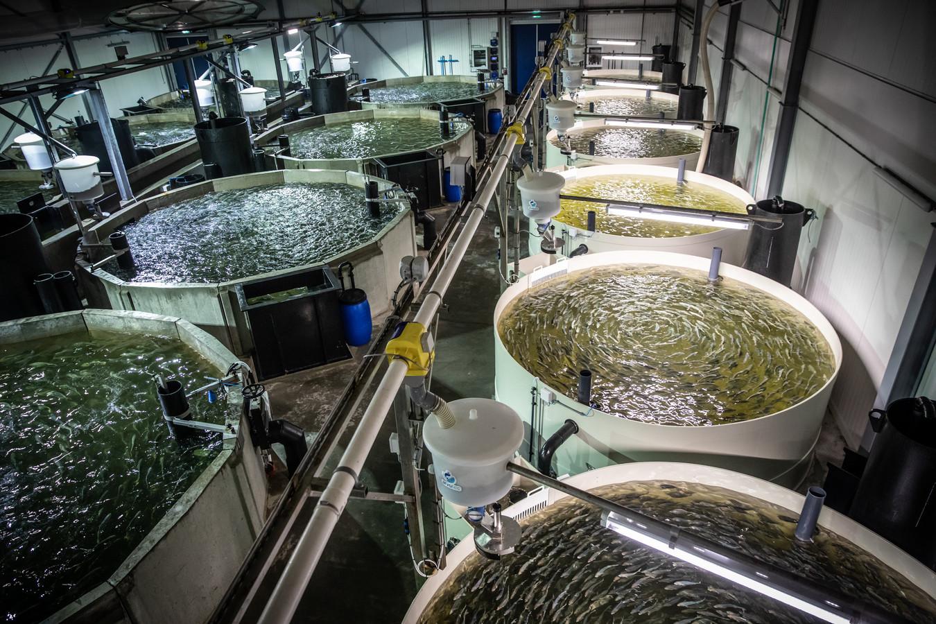 De inpandige kwekerij van Kingfish Zeeland in Colijnsplaat.