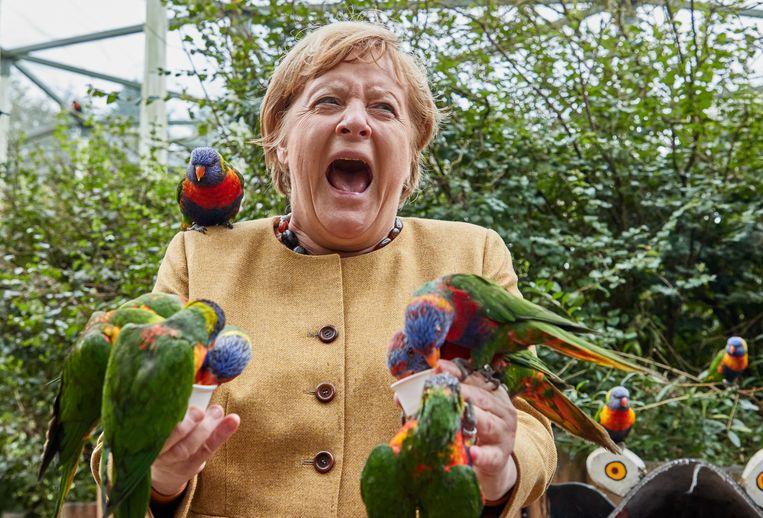 Als bondskanselier heeft ze ongetwijfeld voor hetere vuren gestaan, maar het voeren van vogels is soms ook geen sinecure. Angela Merkel gilt het in elk geval uit als ze tijdens een bezoek aan een vogelpark in Marlow, in de Duitse deelstaat Mecklenburg-Voor-Pommeren, wordt gebeten door een regenbooglori.  Beeld Georg Wendt/dpa
