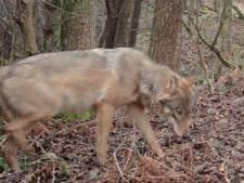 La louve Noëlla et le loup August attendent des petits