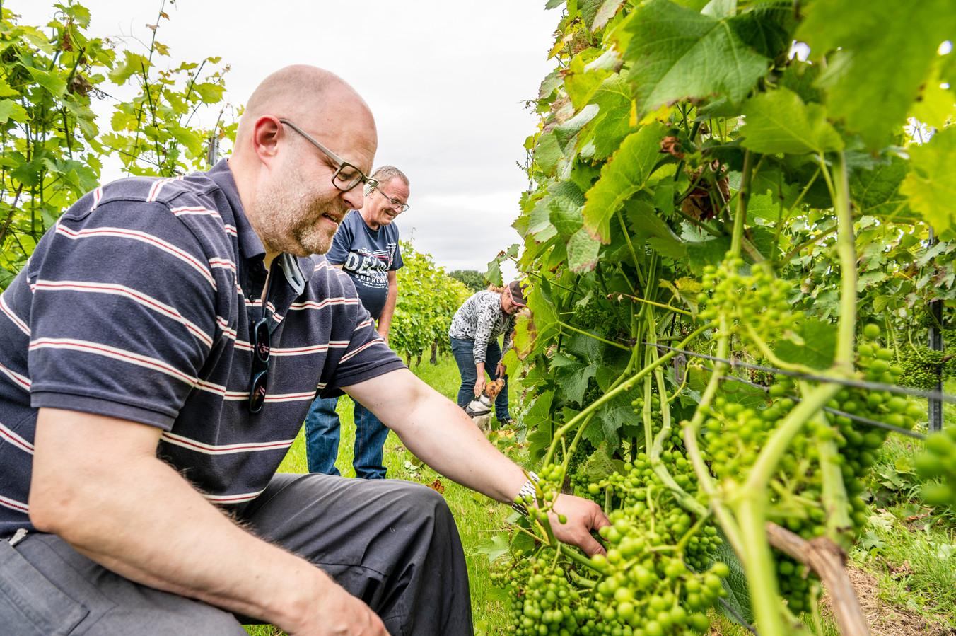In de wijngaard helpen vrijwilligers mee met het plukken, waaronder Pepijn Boer (voorgrond). In de achtergrond Ilse Verkuil en Bert van Delft, de wijnboeren. Foto: THOMAS SEGERS / Van Assendelft