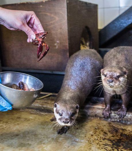 Oplossing voor rivierkreeftenplaag: lekker tussendoortje voor otters Max en Skittle