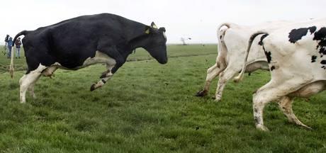 Alleen nog vergunningen voor veehouderij in Gemert-Bakel na gezondheidschecklist