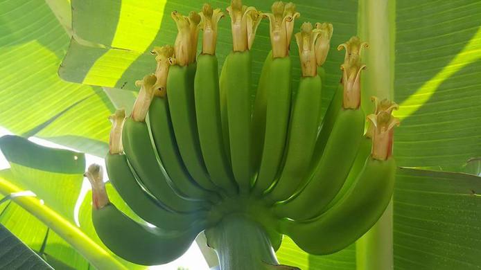 Gestaag groeiende banaantjes