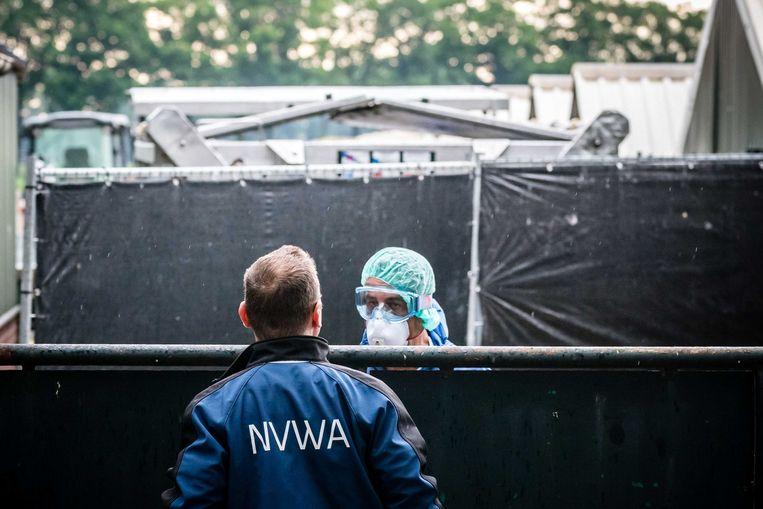 Door capaciteitstekort heeft de NVWA onvolledig zicht op mogelijke uitbraken van dierenziekten, blijkt uit het rapport van Deloitte Beeld ANP