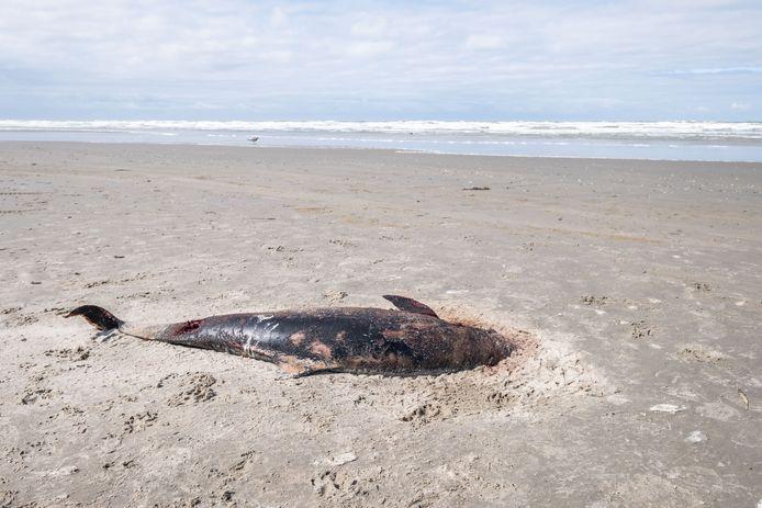 Een aangespoelde bruinvis op Terschelling.