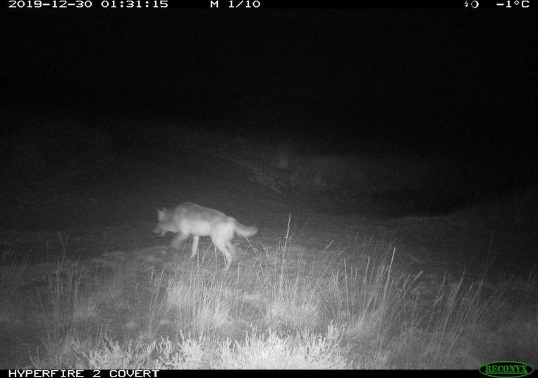 Er wordt verwacht dat wolvin Noëlla een roedel zal starten met wolf August. Beeld ANB