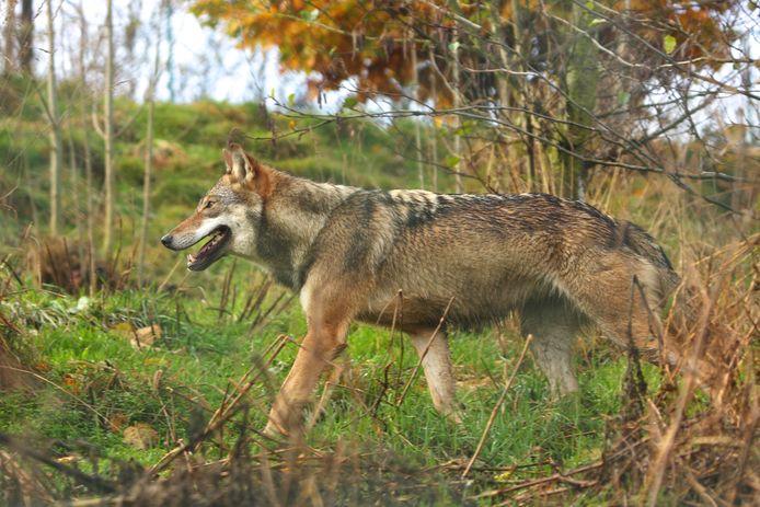 Beeld van een wolf.