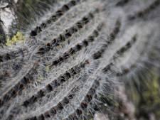 Explosieve groei aantal eikenprocessievlinders